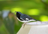 Black-throated-Blue-Warbler-male-Goblin-Villas-Jamaica-22-March-2016-Sam-Woods_S9A2442.jpg