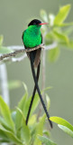 Red-billed-Streamertail_S9A1022.jpg