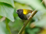 Yellow-shouldered-Grassquit_S9A1288.jpg
