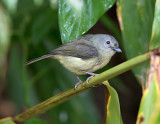 Blue-Mountain-Vireo-Silver-Hill-Gap-Blue-Mountains-Jamaica-22-March-2015_S9A5535.jpg
