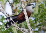 Chestnut-bellied-Cuckoo-Starlight-Chalet-Blue-Mountains-Jamaica-25-March-2015_S9A6388.jpg