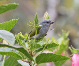 Jamaican-Euphonia-female-Silver-Hill-Cottage-Silver-Hill-Gap-Blue-Mountains-Jamaica-22-March-2015_S9A5265.jpg