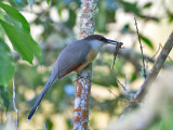 Jamaican-Lizard-Cuckoo-with-lizard-Blue-Mountains-Jamaica-24-March-2015_S9A6286.jpg