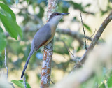 Jamaican-Lizard-Cuckoo-Blue-Mountains-Jamaica-24-March-2015_S9A6304.jpg