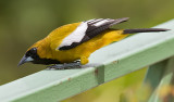 Jamaican-Oriole-Starlight-Chalet-Blue-Mountains-Jamaica-25-March-2015_S9A6658.jpg