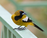 Jamaican-Oriole-Starlight-Chalet-Blue-Mountains-Jamaica-25-March-2015_S9A6620.jpg