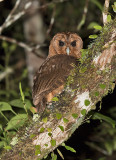 Jamaican-Owl-Section-Blue-Mountains-Jamaica-24-March-2015_S9A6324.jpg