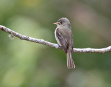 Jamaican-Pewee-Blue-Mountains-Jamaica-22-March-2015_S9A5285.jpg