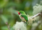 Jamaican-Tody-TITLE-Woodside-Blue-Mountains-25-March-2015_S9A6564.jpg