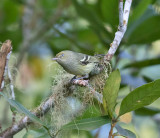 Jamaican-Vireo-Blue-Mountains-23-March-2015_S9A5660.jpg