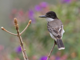 Loggerhead-Kingbird-Silver-Hill-Cottage-Silver-Hill-Gap-Blue-Mountains-Jamaica-22-March-2015_S9A5300.jpg