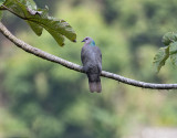 Ring-tailed-Pigeon-Blue-Mountains-Jamaica-26-March-2015_S9A6783.jpg