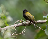 Yellow-shouldered Grassquit