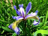 fleur de lys sauvage