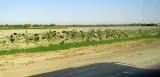 Partie du désert du Kyzylkoum: chèvres