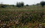 Vers Boukhara: champ de coton
