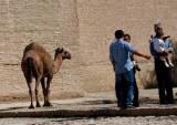 ballade de chameau