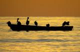 Pélicans au lever du soleil