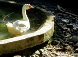 l'oie et son bassin