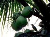 dans les noix de coco