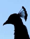 L'ombre du paon