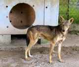 La réserve d'El Nispero , genre de coyote