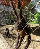 un singe dans l'enclos