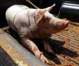 El Valle le village , le cochon du marché