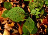 les feuilles parasitées