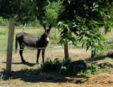 L'âne du Gers