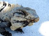 gueule d'Iguane