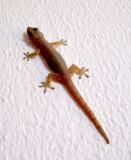 gecko ou lézard