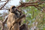 Chobe River front baboon