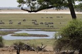 Chobe river front cebras