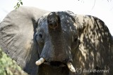 Chobe River front elefante3