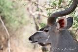 Chobe River front Kudu