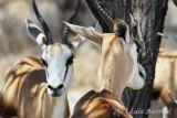 Etosha Impalas.jpg