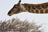 Etosha jirafa