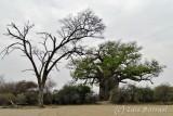 Mahango baobab