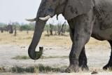Savuti elefante