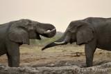 Savuti elefantes