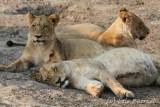 savuti leones