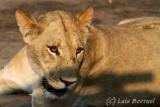 savuti leona cerca2