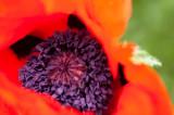 6th June 2013  first poppy