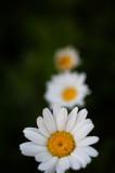 29th May 2014  big daisies
