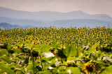 1st August 2014  sunflower field