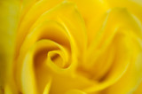 5th August 2014  yellow rose