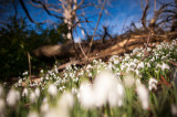 21st February 2015  Hill of snowdrops