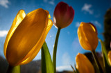 1st March 2015  tulips