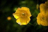 1st June 2015  yellow poppies
